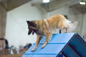 belgian sheepdog trials file belgian tervuren agility a frame jpg wikimedia commons