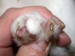 paronychia dog
