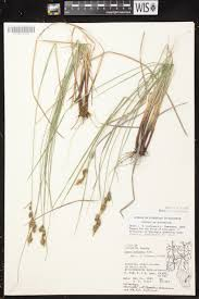 218 best native plants images on p online virtual flora of wisconsin carex buxbaumii