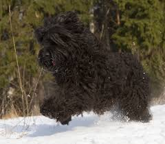 australian shepherd dogtime black russian terrier dog breed information pictures