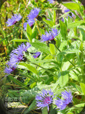 purple perennial flower identification ubc botanical garden forums