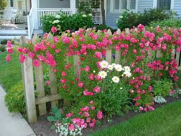 climbing roses on board fence brought to you by cookies in bloom