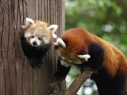 Red Panda Meme - 25 cute pictures of red panda to make your day sunny