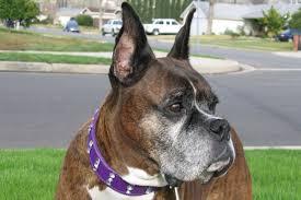 rescue a boxer dog toni faragalli