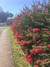 what plants are native to australia callistemon bottle brush hedge flowering australian native plant