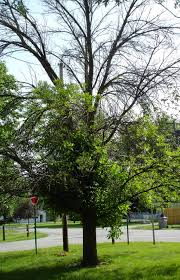 ash trees on public property u2013 the town of arnprior