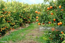orange tree stock photos and pictures getty images