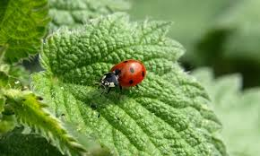 How To Find Ladybugs In Your Backyard What Do Ladybugs Eat All About Ladybugs New England Today