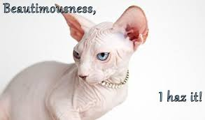 Hairless Cat Meme - lolcats hairless lol at funny cat memes funny cat pictures