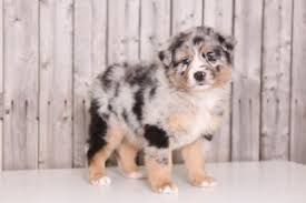 australian shepherd puppies for sale view ad australian shepherd puppy for sale ohio mount vernon usa
