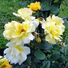 roses online floribunda arthur bell clarenbridge garden centre