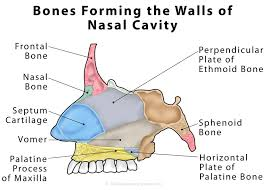 Parts Of Ethmoid Bone Nasal Cavity Definition Anatomy Functions Diagrams The