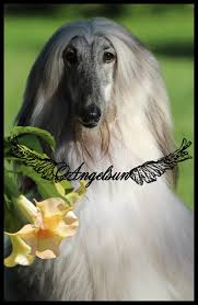 afghan hound 9 months stassi cover ad 2016
