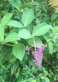 native plants to hawaii walmart agrees to stop the sale of 2 invasive plants