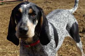 bluetick coonhound reviews the daily gruff have you heard of this breed puppies in need