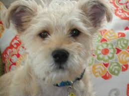australian shepherd rescue nc hendersonville nc westie west highland white terrier meet