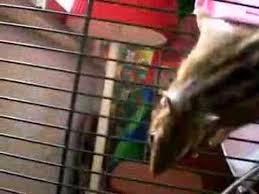 gabbie scoiattoli il nostro scoiattolo sammy nella gabbia