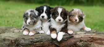 australian shepherd clipart little country aussies exceptional mini and toy australian shepherds