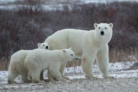 photos polar bears international