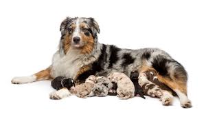 australian shepherd white whelping canine labor and delivery