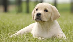 how to stop your labrador puppy biting the labrador site