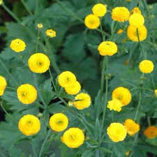 Yellow Pom Pom Flowers - 14 best some like it damp images on pinterest perennials stems