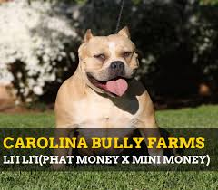 american pitbull terrier z hter deutschland xtreme bullies for sale welcome to carolina bully farms