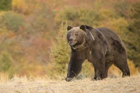 Bears Montana Hunting And Fishing - montana fish wildlife parks grizzly bear delisting