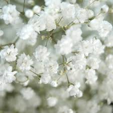 baby s breath wholesale xlence baby s breath wholesale prices farm direct magnaflor