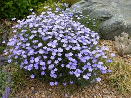 colorado native plants summertime blues narbonne blue flax plant select