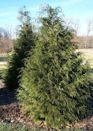 ornamental conifers kollar nursery