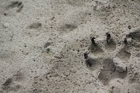 paw print by wolf on deviantart