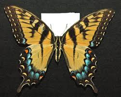 file papilio glaucus eastern tiger swallowtail butterfly