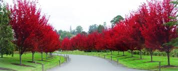 ornamental trees fleming s