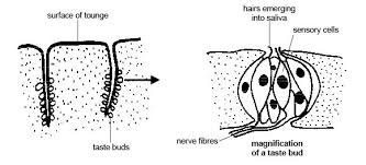 anatomy and physiology of animals the senses wikibooks open