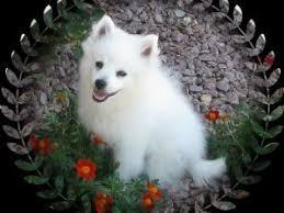 american eskimo dog michigan american eskimo puppies for sale