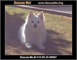 american eskimo dog washington state american eskimo dog blog u2015 rescueme org