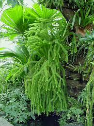 australian native shade plants tassel rock fern care jungle life pinterest fern tassels