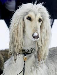 afghan hound breed 504 best i always loved afghan hounds images on pinterest