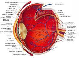Picture Of Eye Anatomy Basic Eye Anatomy Ophthalmology Pinterest Eye Structure Eye