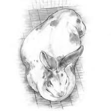 caring for your pregnant rabbit homesteading and livestock