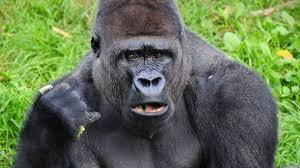 Gorilla by Gorilla Won U0027t Stop Saying U0027gorilla U0027 In Sign Language The Onion
