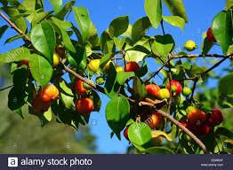 Cherry Tree Fruit - pitanga brazilian cherry tree with fruit stock photo royalty