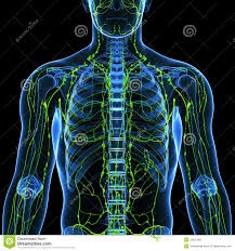 lymphatic system anatomy choice image learn human anatomy image