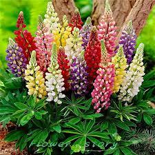 aliexpress buy 200 colorful rainbow tutti frutti lupine