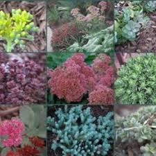 Rock Garden Cground Keizer Nursery Sedum Rock Garden And Ground Cover Varieties