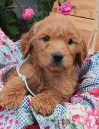 goldendoodle puppy virginia papi poo puppies for sale puppy
