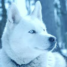 american pitbull terrier vs siberian husky alaskan husky vs siberian husky which one is better for you