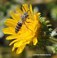 california native plant society blog california poppy no nectar just pollen bug squad anr blogs