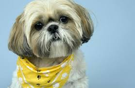 haircuts for shih tzus males 7 unique pictures of shih tzu hair styles